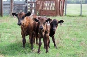 peeler cows